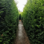 The slightly spooky Yew Maze in the Tudor Gardens at Hever Castle