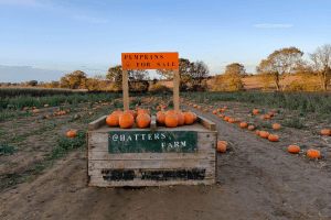 The pumpkin patch at Hatter's Farm in Takeley