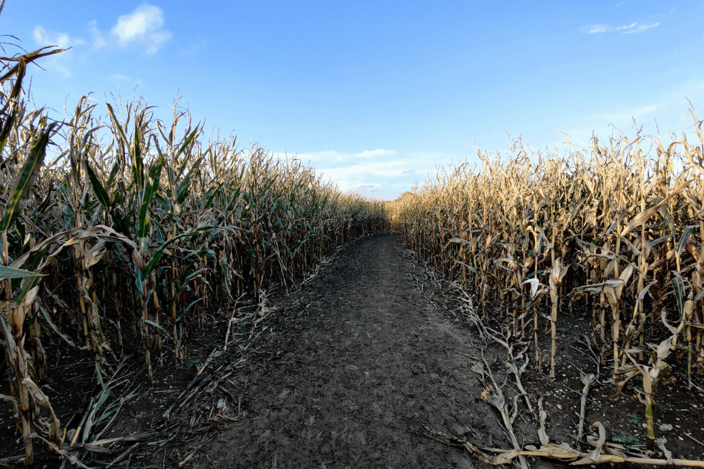 The Maize Maze at Hatter's Farm
