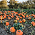 The pumpkins growing at Hatter's Farm