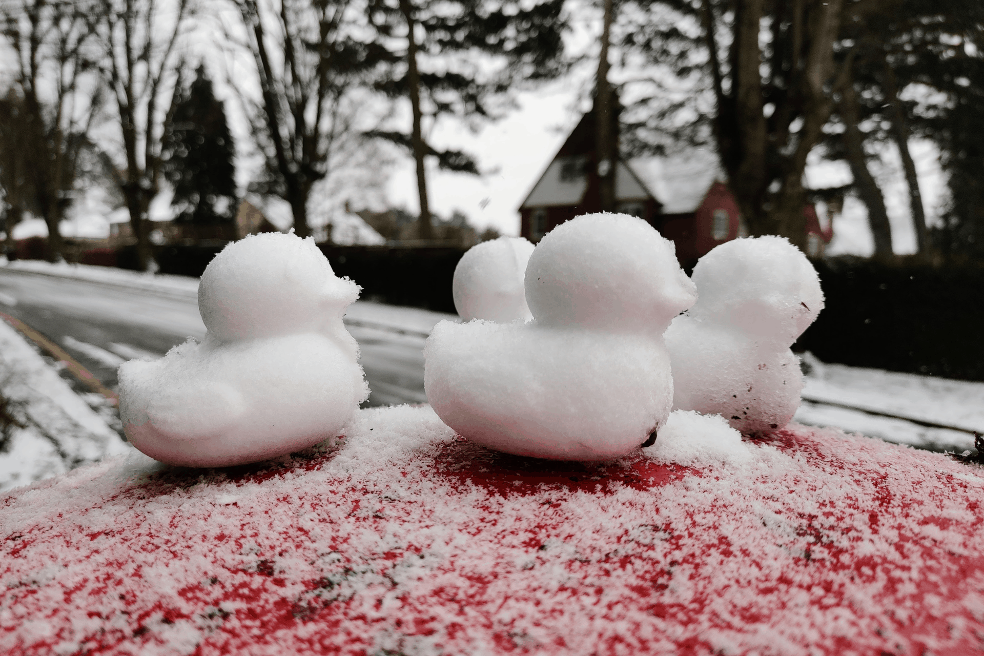 Snow ducks spotted in February 2021